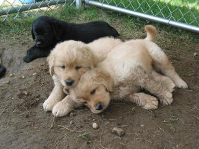 Fluffy Labradors Pups