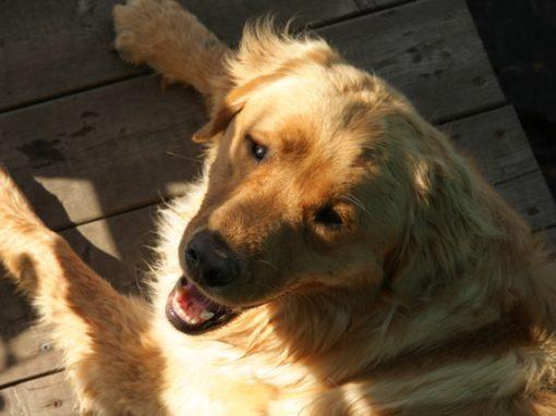 """Fluffy Labrador """"Molson"""" 3"""